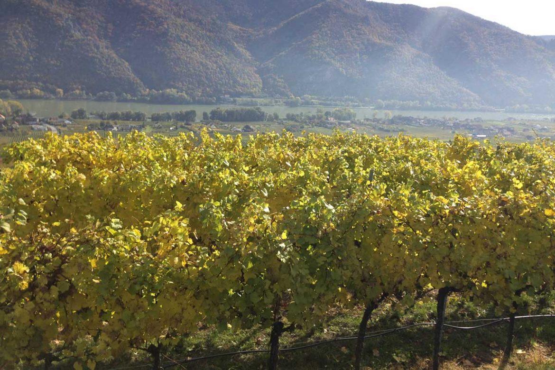 Herbstlicher Weingarten in der Wachau