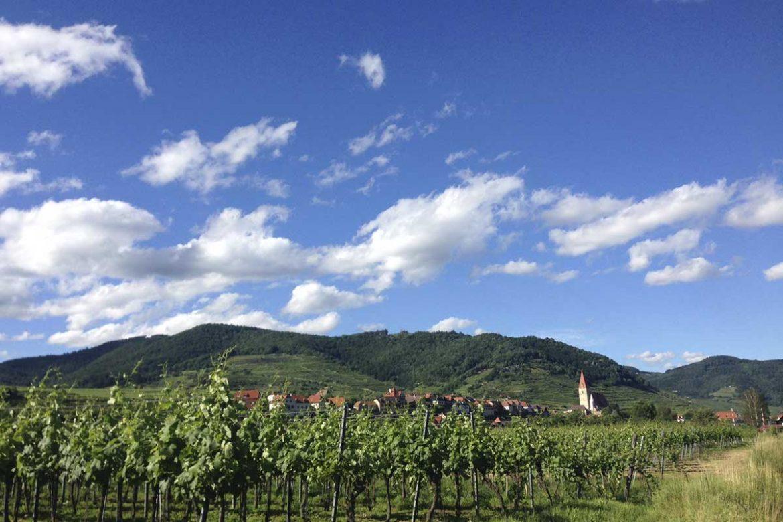 weinreben-wachau-weissenkirchen