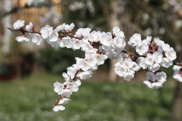 Blüte Marillenbaum